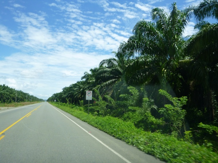 road between Dominical and Quepos - endless palm trees.