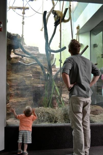 Tame monkeys, observing the wild monkeys.